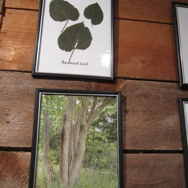 You can still find the basswood trees used to fuel the pill box industry in Knox. The Knox Historical Society has provided these references for bark and leaves to help you identify these useful trees.